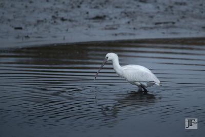 Spoonbill, Mudeford