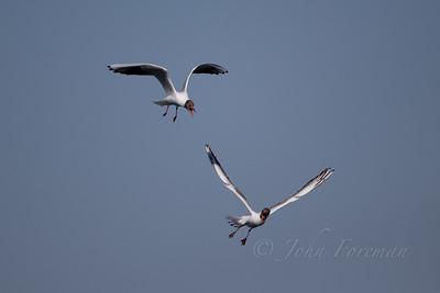 Black-headed Gulls, Lackford