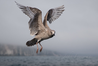 Lesser black-backed gull, Bempton