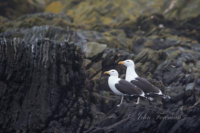 Great black backed gulls, Calf of Man