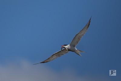 Common Tern, Holkham