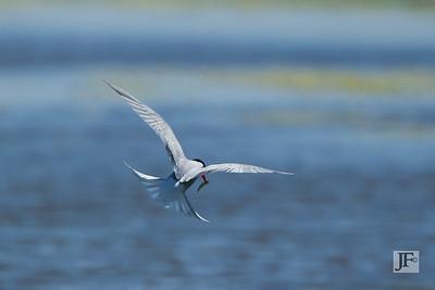 Common Tern, Brownsea Island