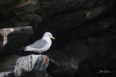 Kittiwake, Isle of Man