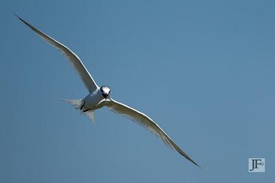 Sandwich Tern, Brownsea Island