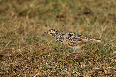 Jerdon's Bushlark, Yala