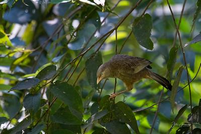 Jungle Babbler, Hikkaduwa