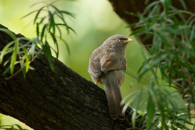 Jungle Babbler, Bharatpur