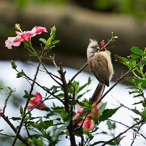 Speckled Mousebird, Naivasha