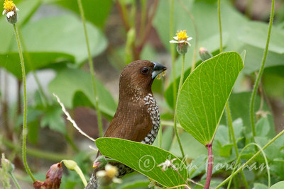 Scaly-breasted Munia, Singapore