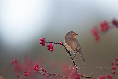 Robin, Lakenheath
