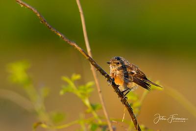 Juvenile Robin, Hengistbury Head