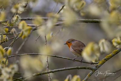 Robin, Blandford