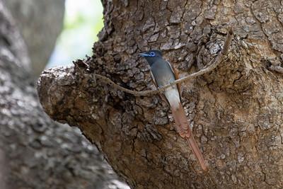 African Paradise Flycatcher, Selous