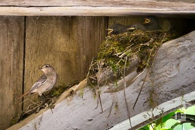 Redstarts, Gers