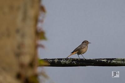 Black Redstart, Gers
