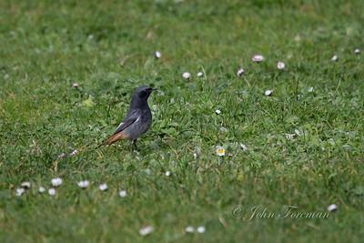 Black Redstart, Santander