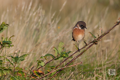 Female Stonechat, Dorset