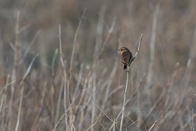 Female Stonechat, Suffolk