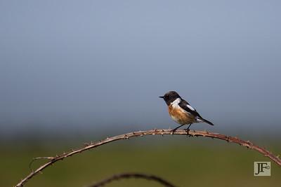 Male Stonechat, Dorset