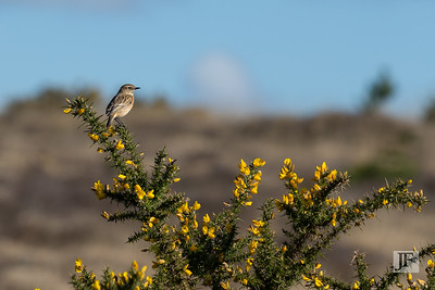 Female Stonechat, Studland