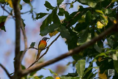 Tickell's Blue Flycatcher, Hikkaduwa