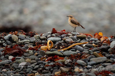 Wheatear, Isle of Mull