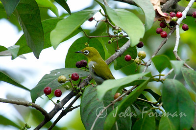Oriental White Eye, Sungei Buloh