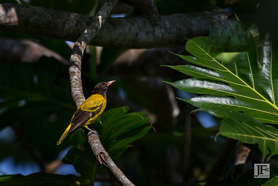 Black headed Oriole, Hikkaduwa
