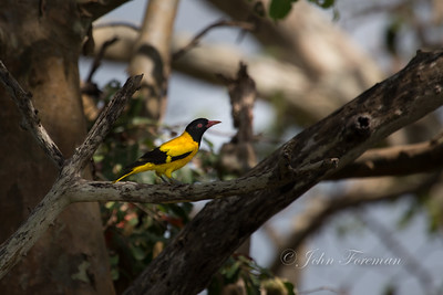 Black headed Oriole, Sri Lanka