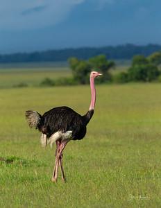 Ostriche, Masai Mara