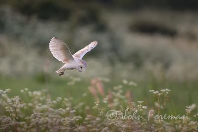 Barn Owl, Flatford