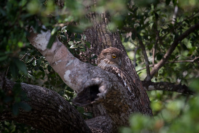 Brown Fish Owl, Wilpattu