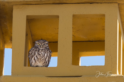 Little Owl, Cala de Mijas
