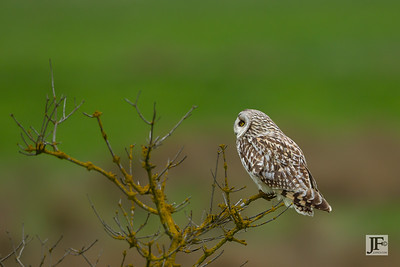 Short-eared Owl, Wicken Fen