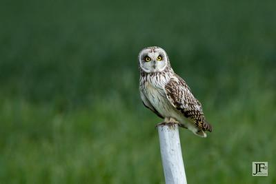 Short-eared Owl, Suffolk