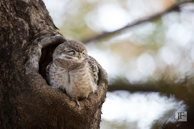 Spotted Owlet, Ranthambhore