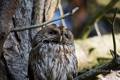 Tawny Owl, Hengistbury Head