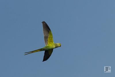 Rose-ringed Parakeet, Bharatpur
