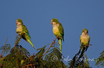 Monk Parakeets, Gran Canaria