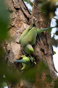 Rose-ringed Parakeets, Chambal