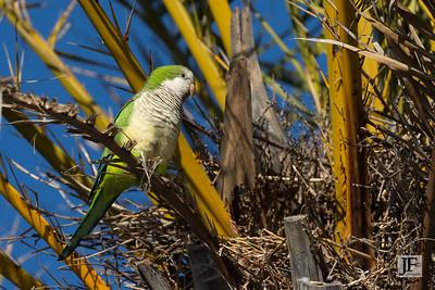 Monk Parakeet, Benalmadena