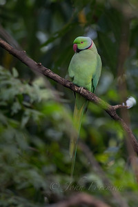 Rose-ringed Parakeet, Chambal
