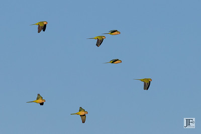 Monk Parakeets, Rio Guadalhorce