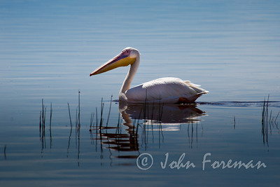Great White Pelican, Nakuru