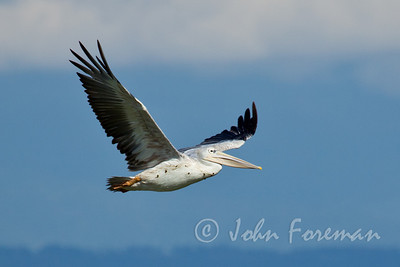 Great White Pelican, Naivasha