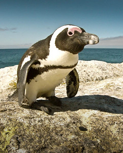 African Penguin, Cape Town