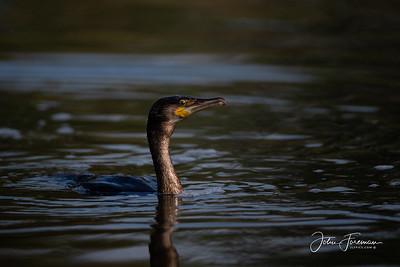 Cormorant, River Stour