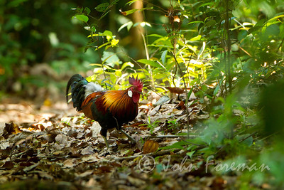 Jungle Fowl, Pulau Ubin