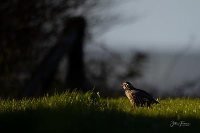 Red-legged Partridge, Wiltshire