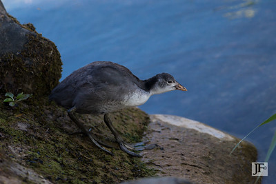 Juvenile Coot, Annecy